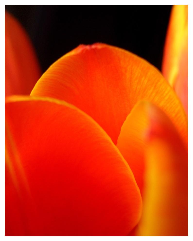 Wo ist die Tulpe?