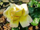 Wochenend-Rose ...