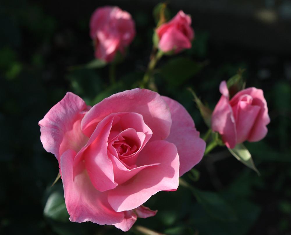 Wochenendgruß in Rosenform