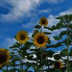 wochenendsonnenblumen
