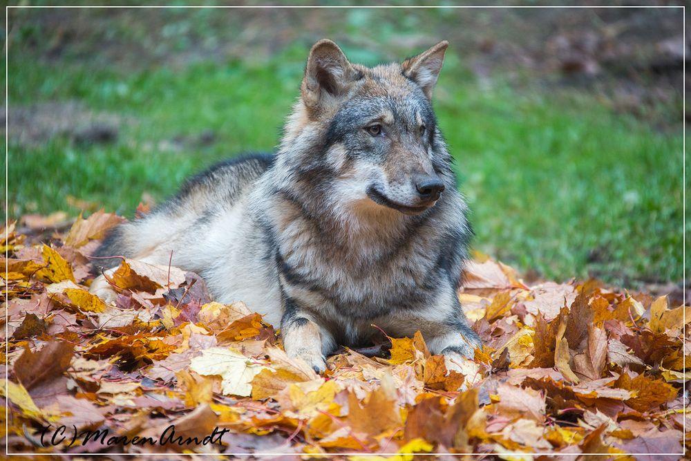 Wölfchen im Herbst