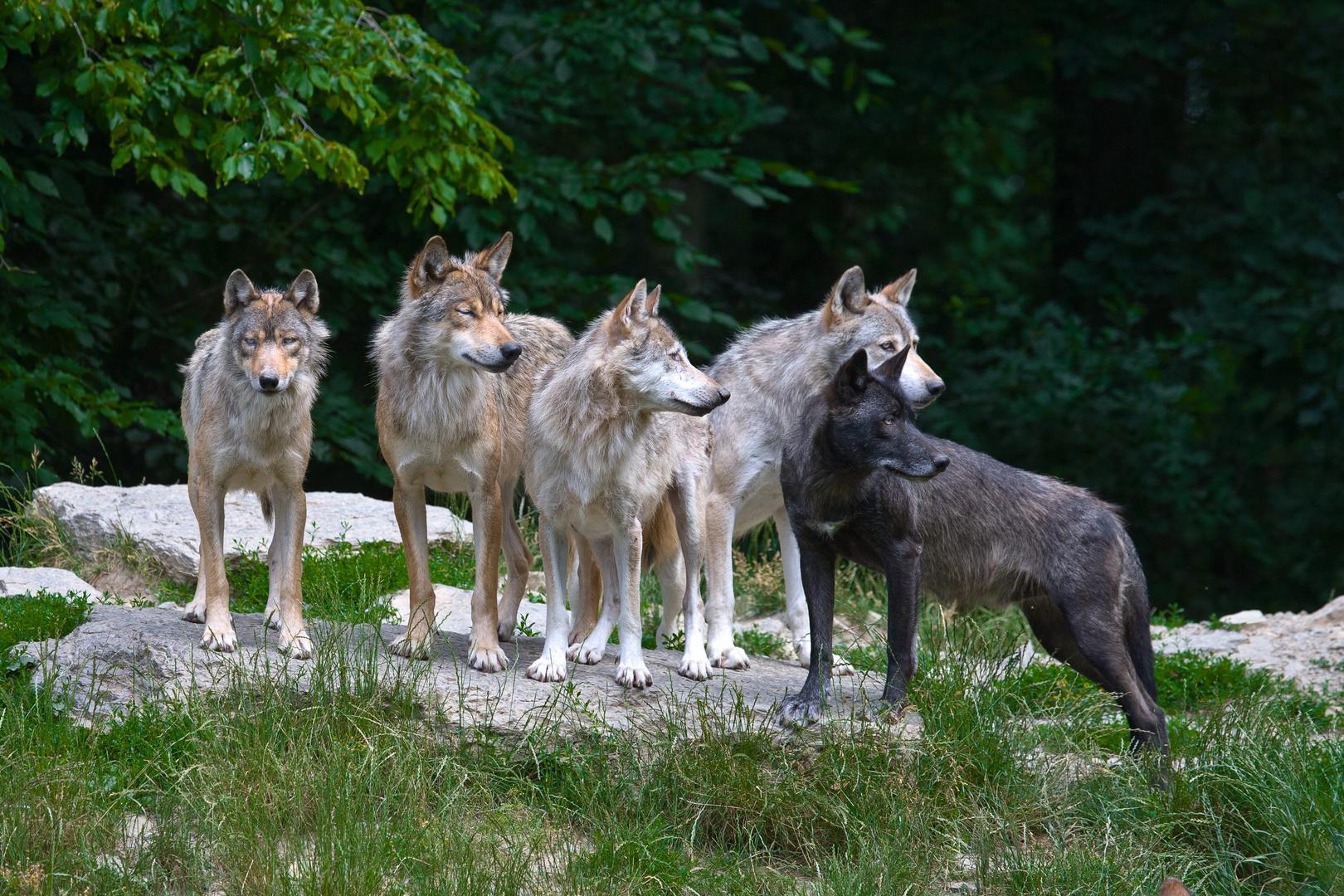Wölfe bei der Besucherbeschau