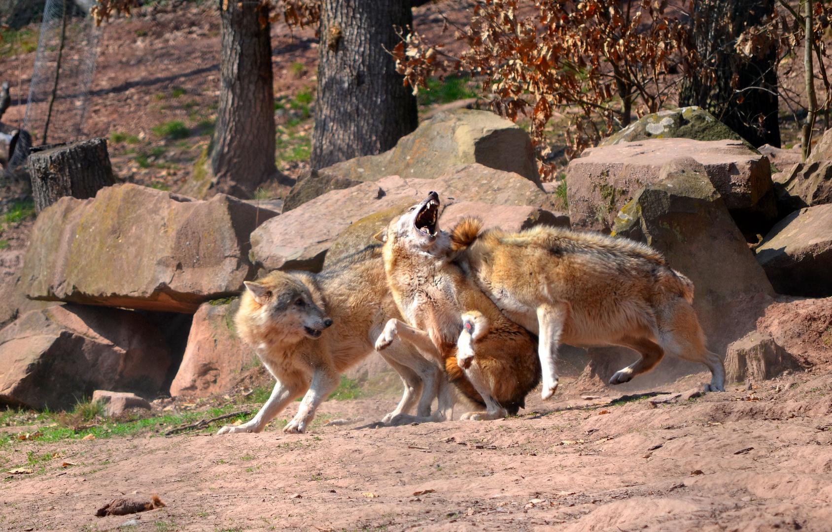 Wölfe im Rangkampf II