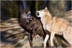 Wölfe im Tierpark Bad Mergentheim