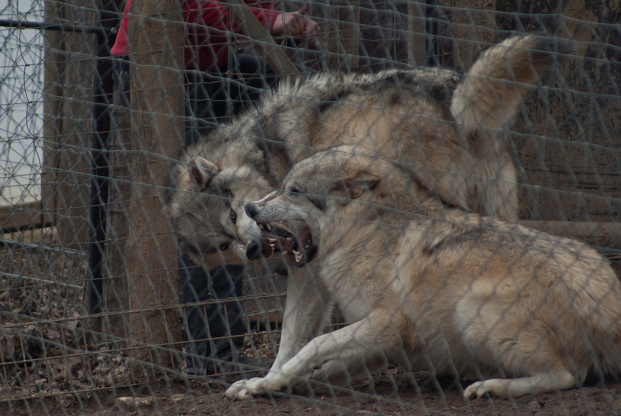 Wölfe im Tierpark Ernstbrunn.