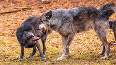Wölfe im Wolfspark