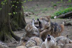 Wölfe kämpfen