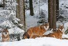 Wölfe NP Bayer. Wald