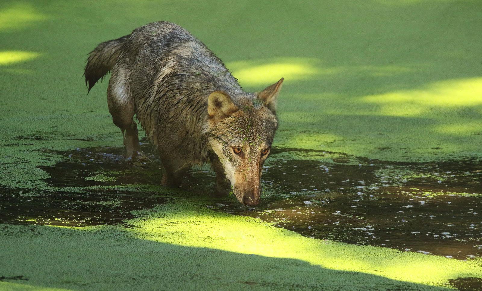 Wölfin im grünen Wasserloch