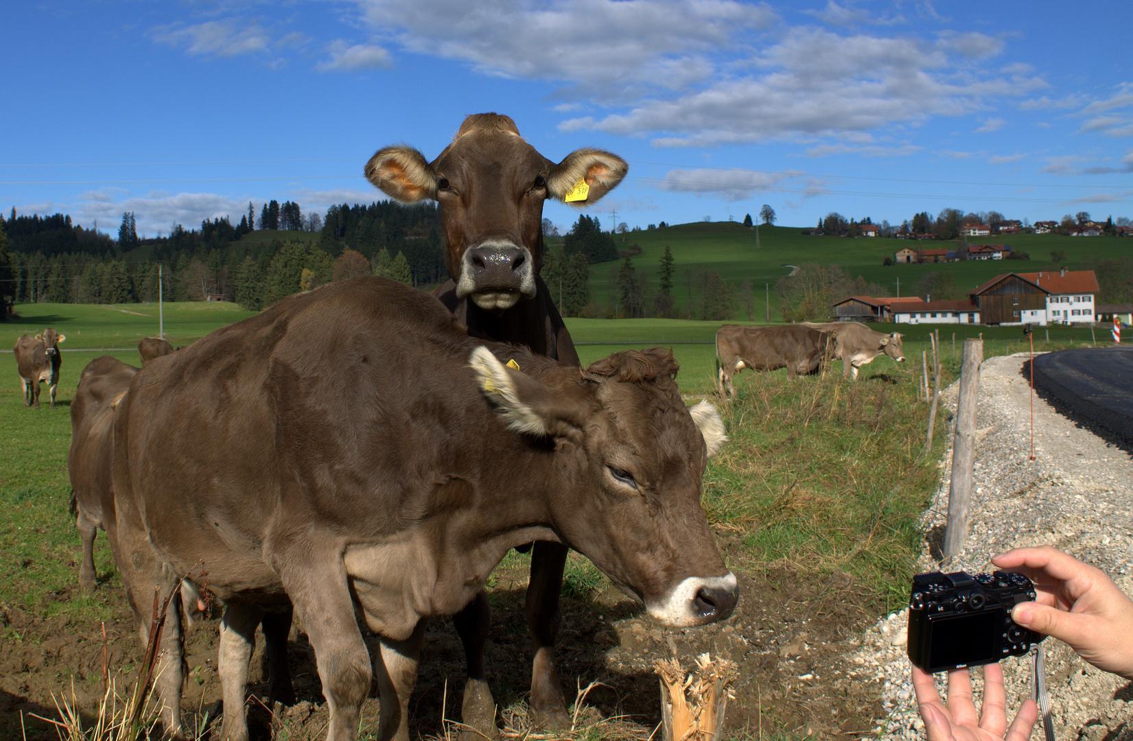 """Woher kommt wohl der Ausdruck """"Blöde Kuh, dumme Kuh ?"""""""