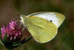 Wohl die letzten Schmetterlinge, ...