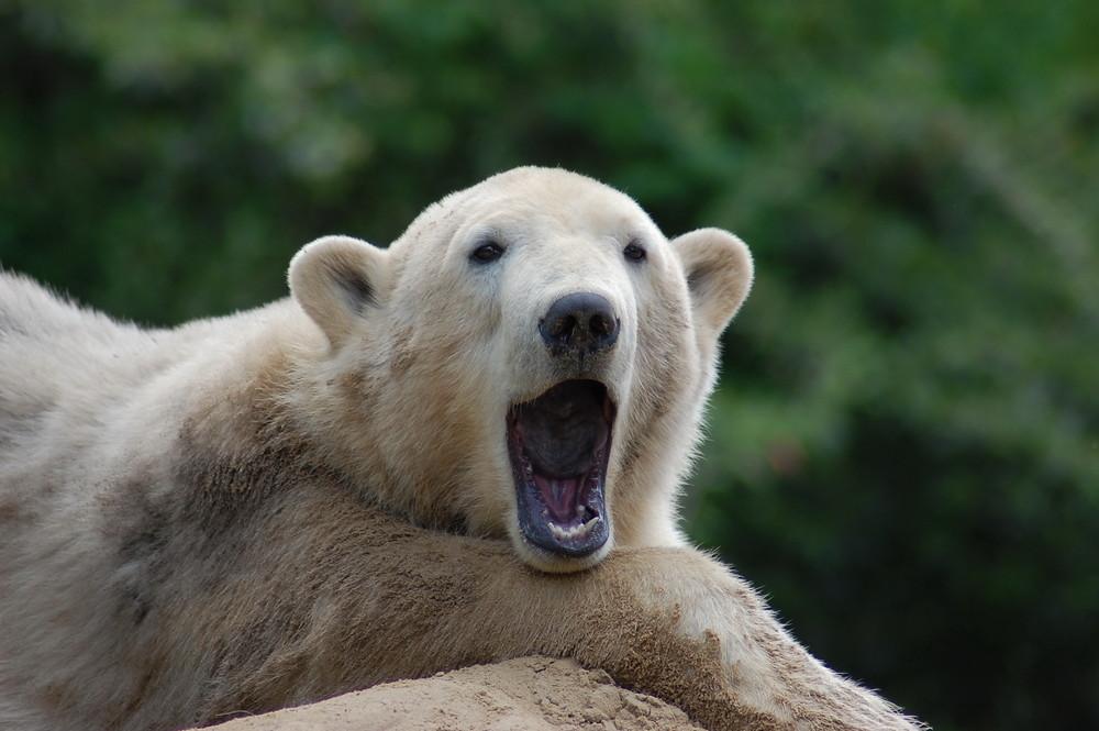 Wohl müde Knut!