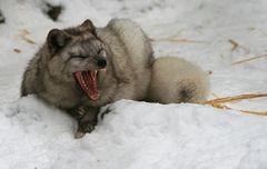 Wohlfühlwetter für Polarfüchse