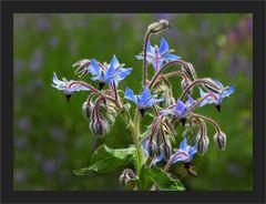 Wohlgemuts - Blume
