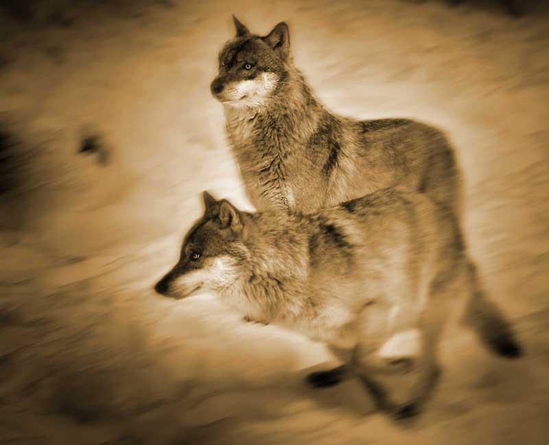 Wolf 07