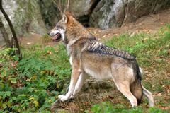 Wolf 08