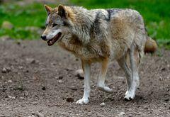 """""""Wolf"""" (1)"""