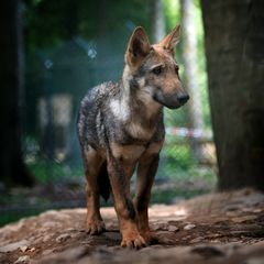 Wolf (13 wochen alt )