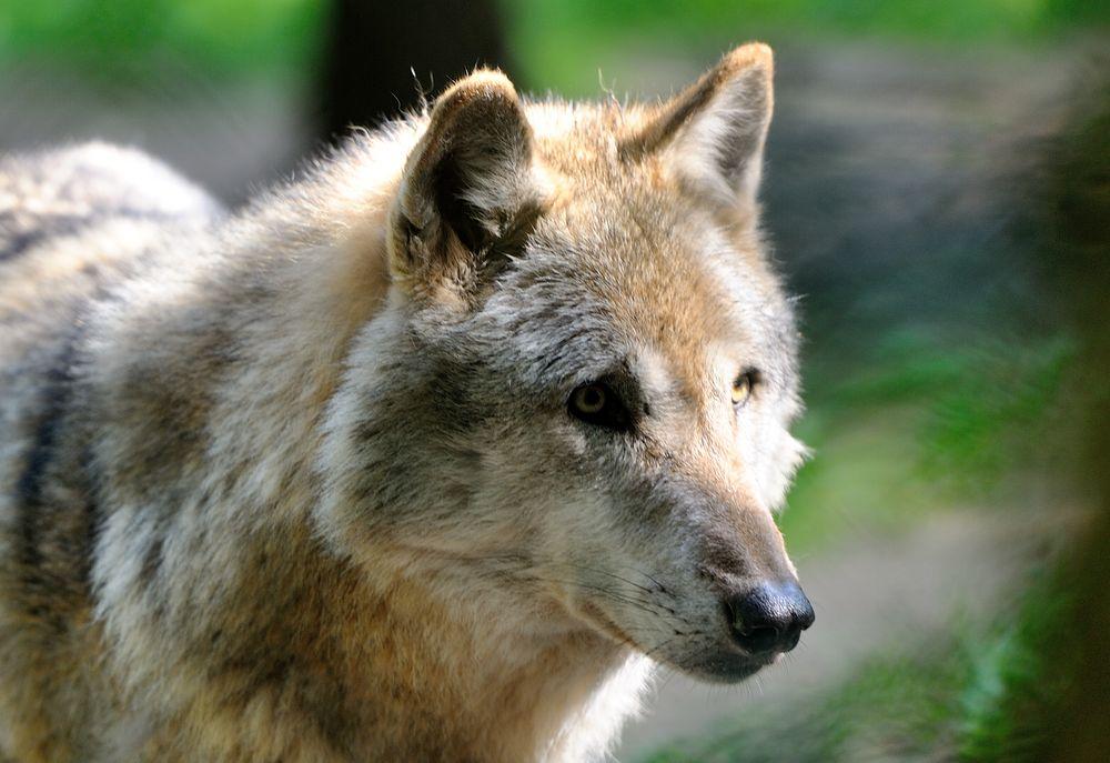 """""""Wolf"""" (2)"""