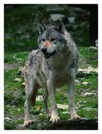 ***Wolf***