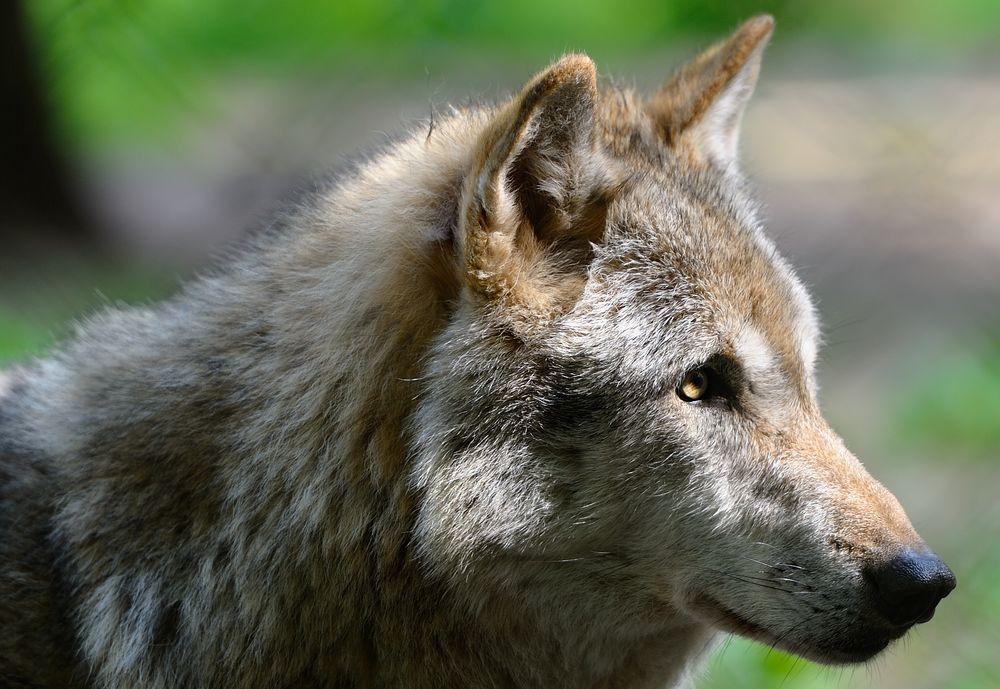 """""""Wolf"""""""