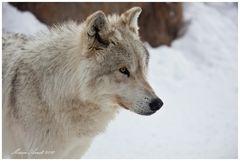 Wolf .