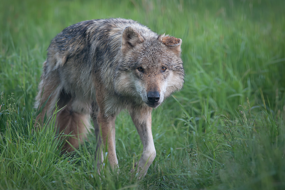 - Wolf -