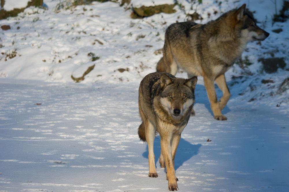 Wolf auf dem Eis