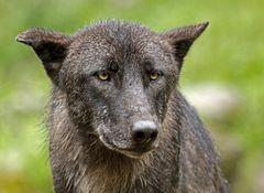 Wolf aus dem Archiv...