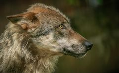 Wolf aus dem Kaisergarten/Oberhausen