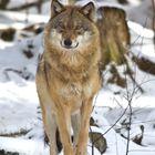 Wolf bei NP Falkenstein