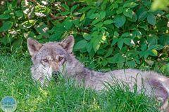 Wolf beim Ausruhen unterm Baum im Tiergarten Worms