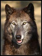 "Wolf   "" Blick-Kontakt """