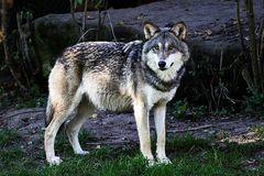 * wolf *