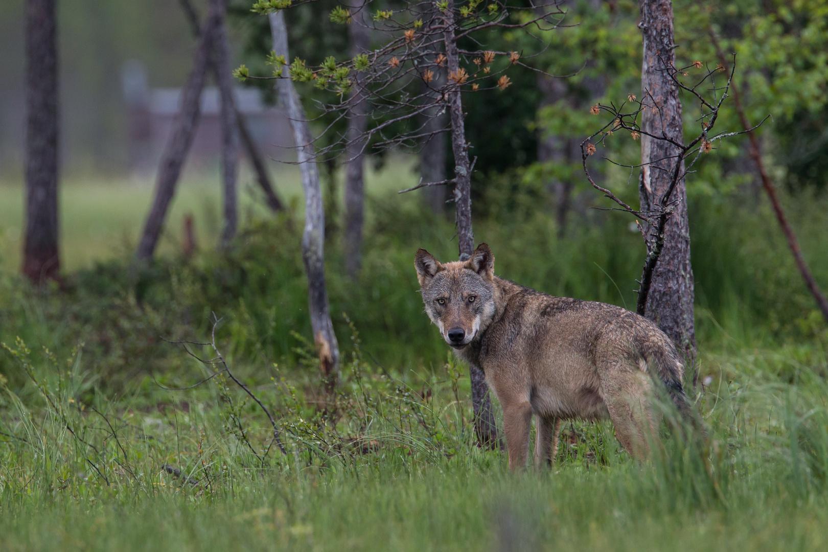 Wolf: Da wohnt Rotkäppchens Grossmutter!