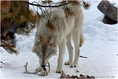 Wolf - ganz nah