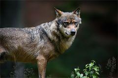 Wolf - ganz nahe