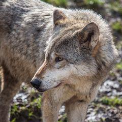 Wolf (II)