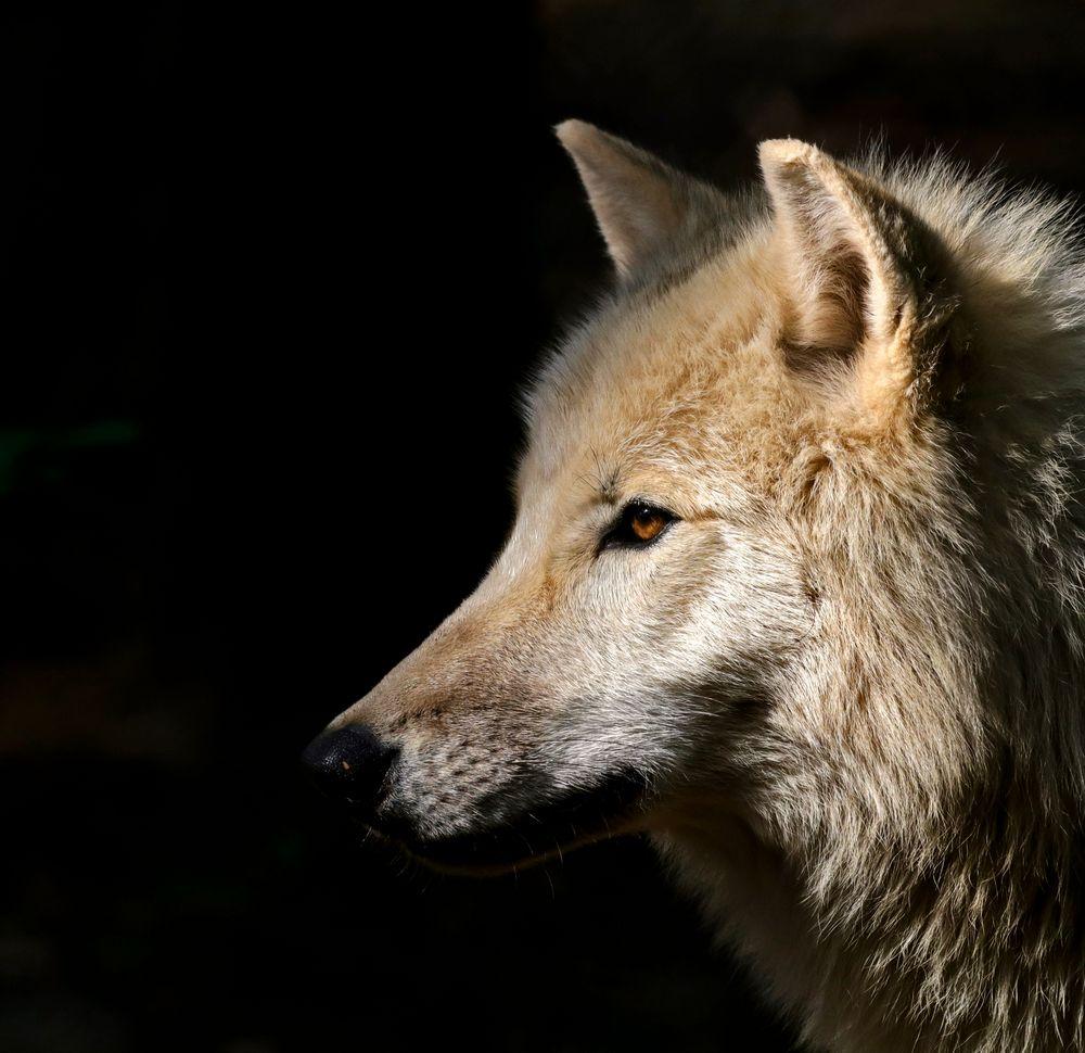 Wolf im Licht