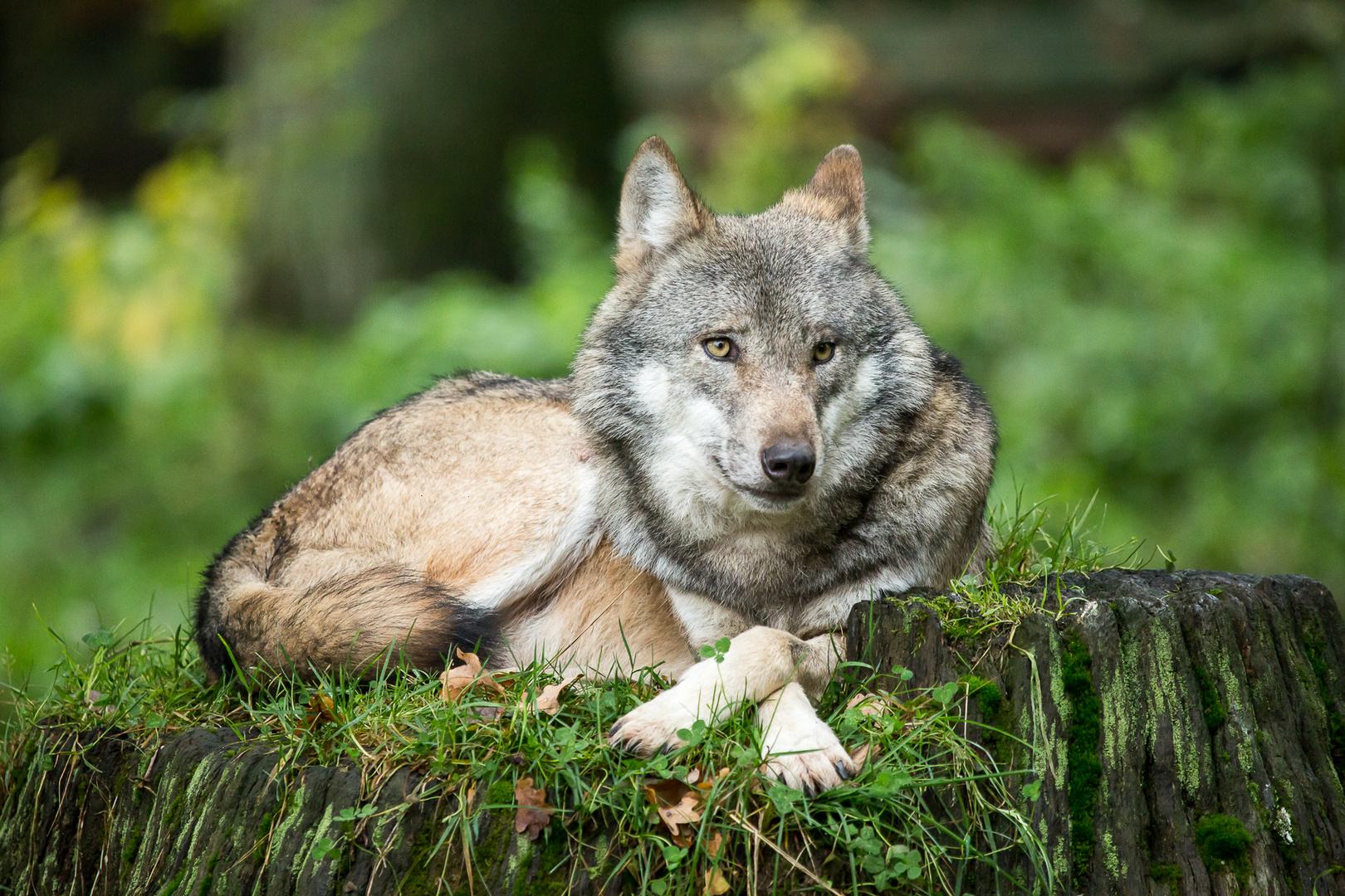 wolf im schafspelz 1 foto bild tiere zoo wildpark. Black Bedroom Furniture Sets. Home Design Ideas