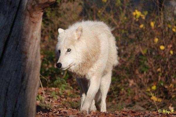 arktischer wolf fotos bilder auf fotocommunity. Black Bedroom Furniture Sets. Home Design Ideas
