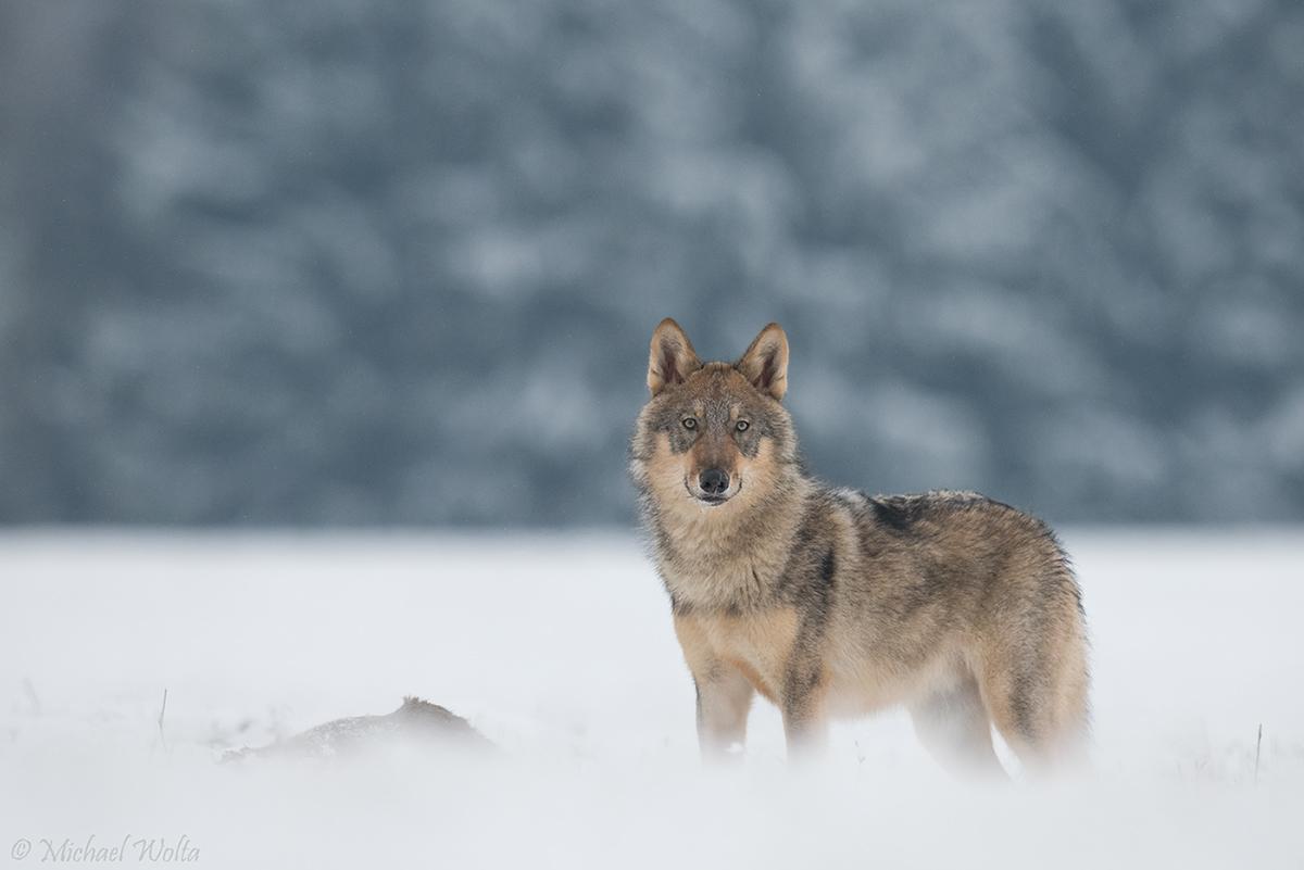 Wolf im Schnee #2