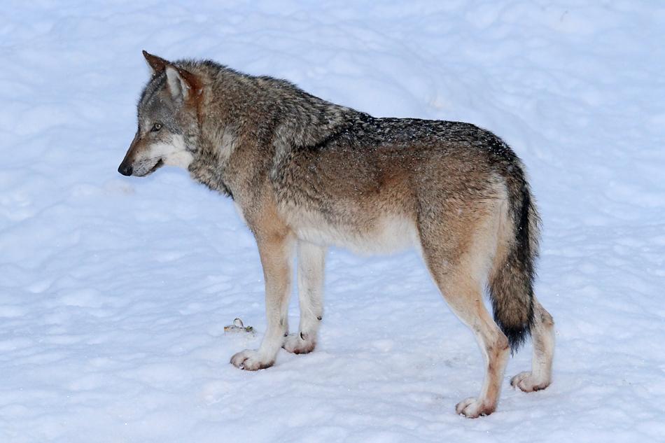 Wolf Schnee