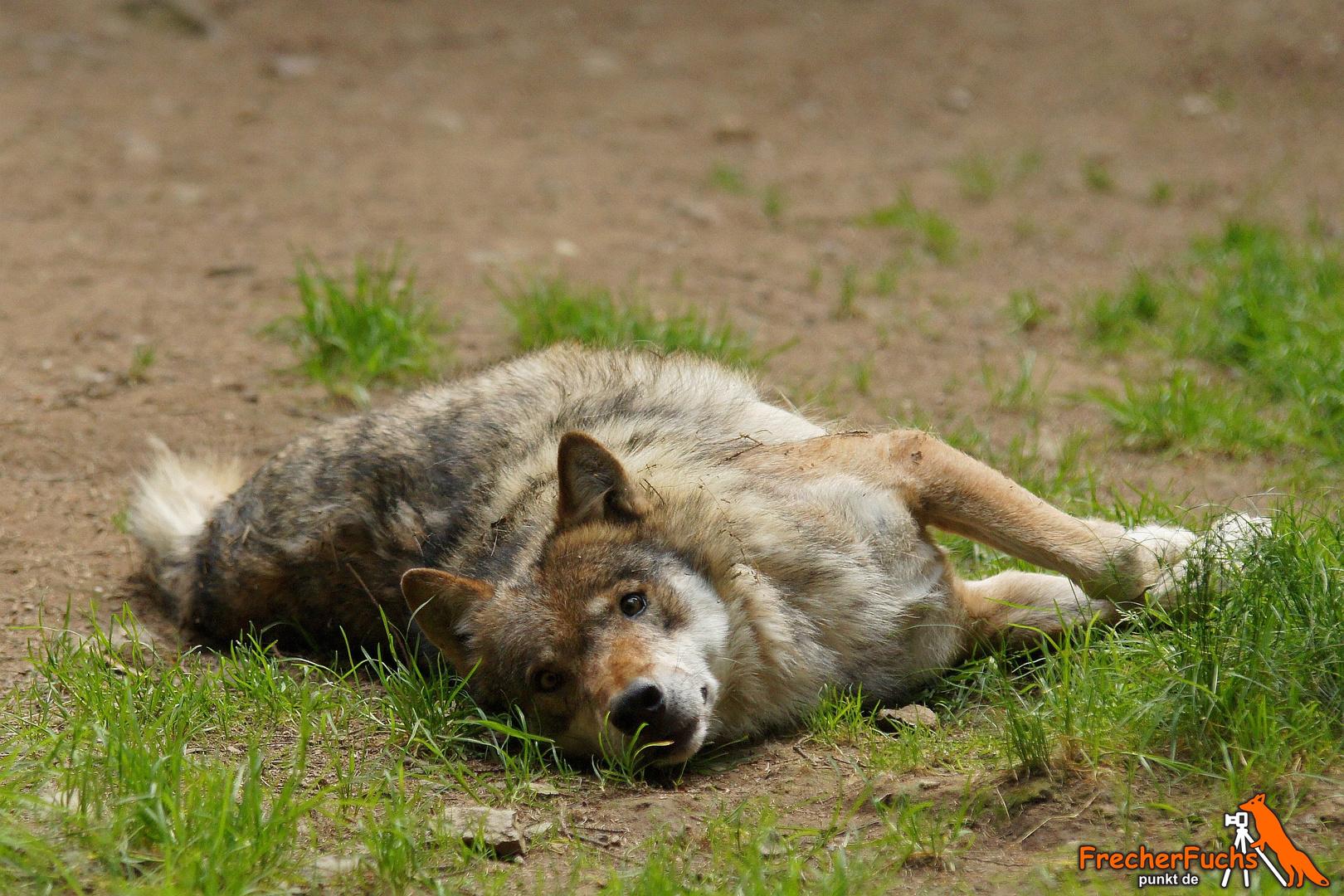 Wolf im Tierpark Lohberg