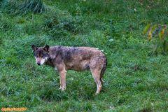 Wolf im Tierpark Silz