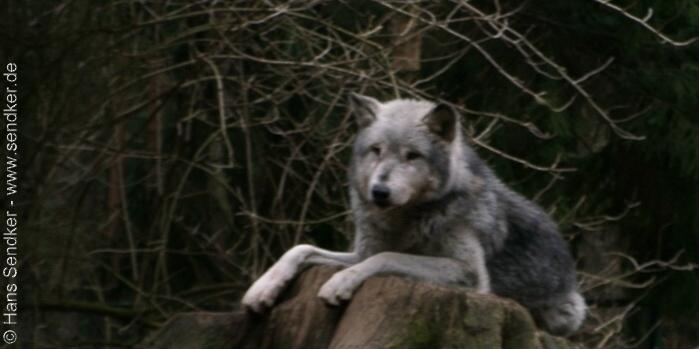 Wolf im Wildpark Lüneburger Heide