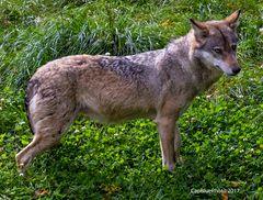 Wolf im Wildpark Silz