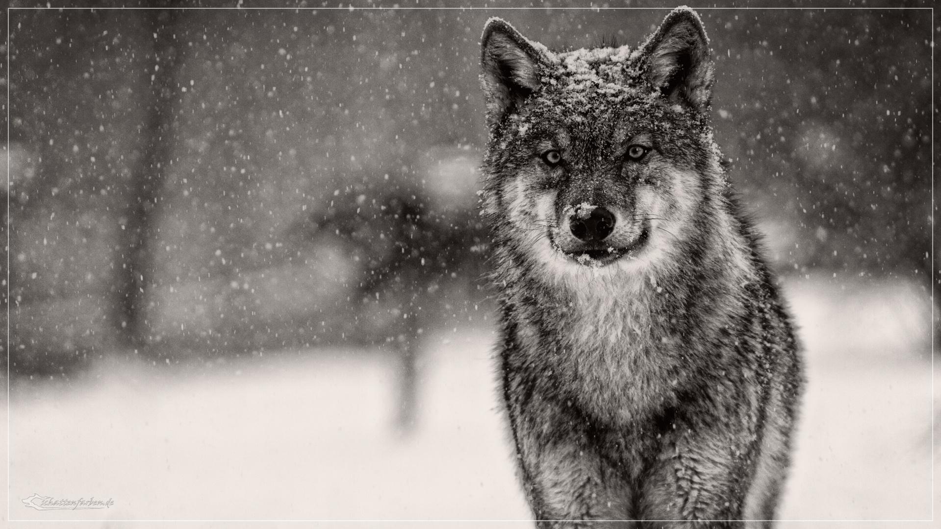 Wolf Bilder Im Winter - Kostenlos zum Ausdrucken