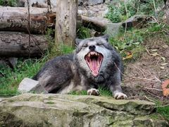 Wolf im Zoo Hannover #2