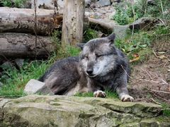 Wolf im Zoo Hannover #3
